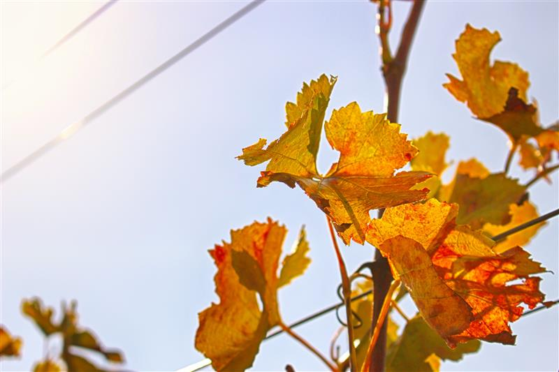 Red-yellow vine leaf