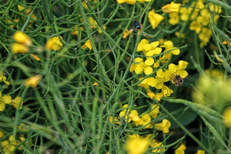 Blooming canola with bumble bee