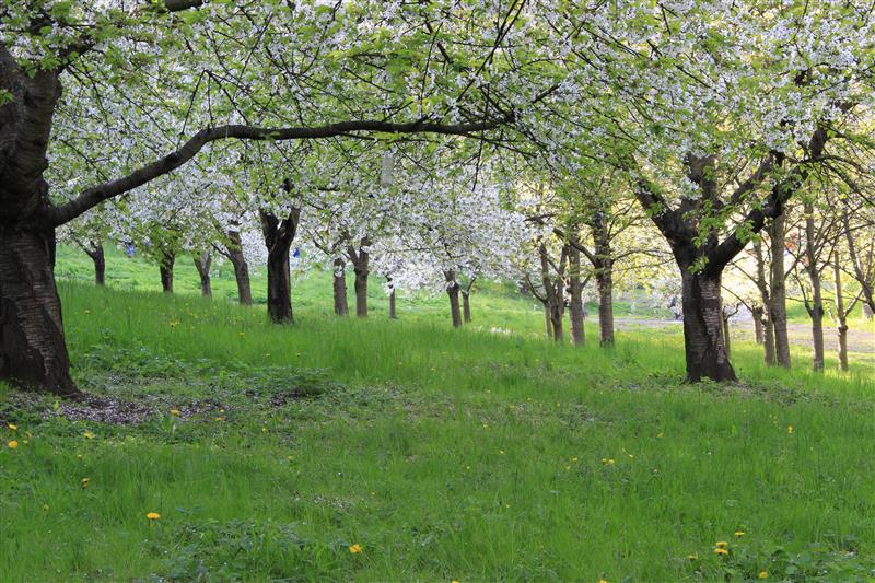 Blossoming orchard