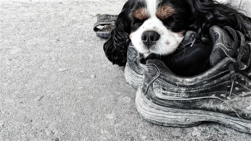 Dog sleeping on shoes