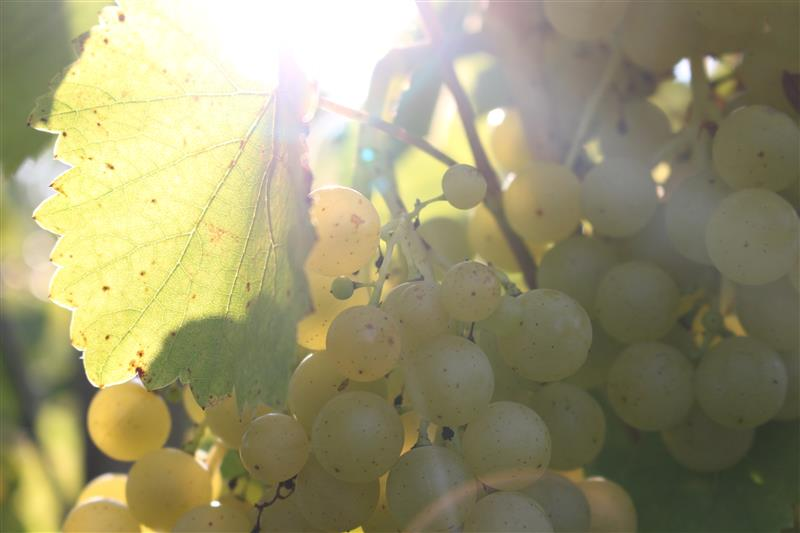 Sun shining through grapes