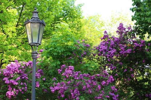Street lamp before lilac bush